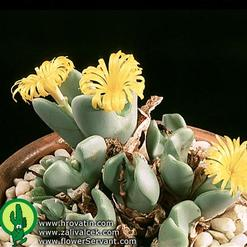 Conophytum species