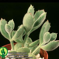Cotyledon ladismithensis
