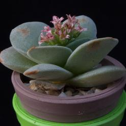 Crassula cv.Morgan Beauty