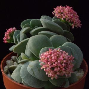 Crassula Morgan beauty