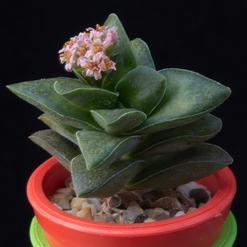 Crassula Spring time cv.