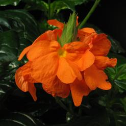 Crossandra undulifolia