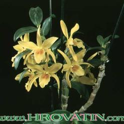 Dendrobium species.