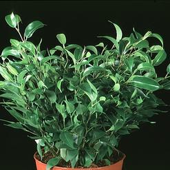 listnate rastline zelene rastline notranje rastline okrasne rastline 1. Black Bedroom Furniture Sets. Home Design Ideas