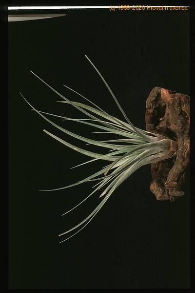 Тилландсия выращивание из семян 74